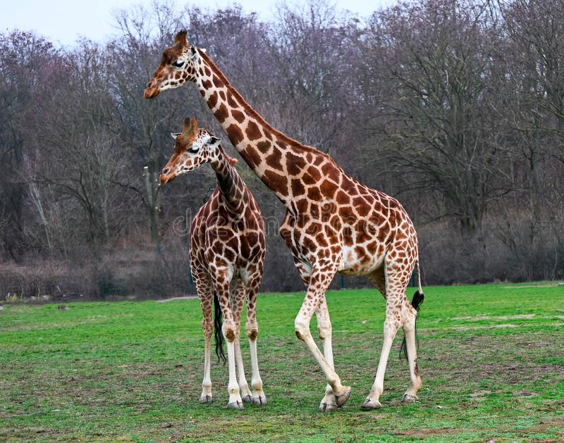 Baby and mother reticulated giraffes royalty free stock photo