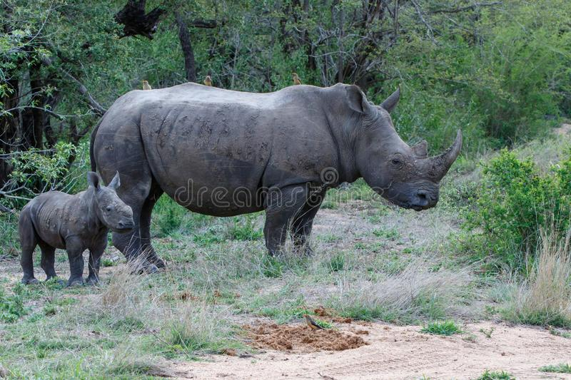 Baby and mother rhinoceros with oxpecker royalty free stock image