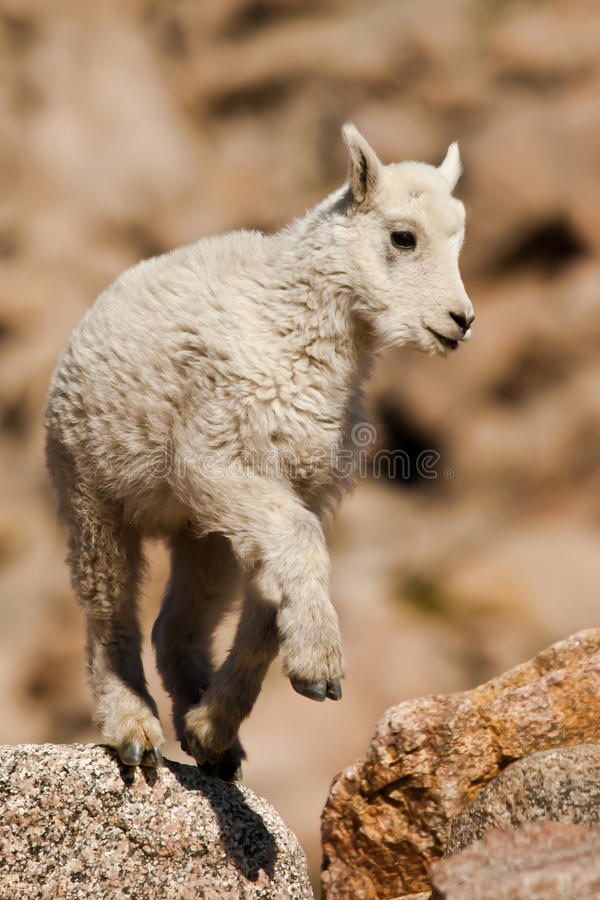 Baby Mountain Goat royalty free stock photography