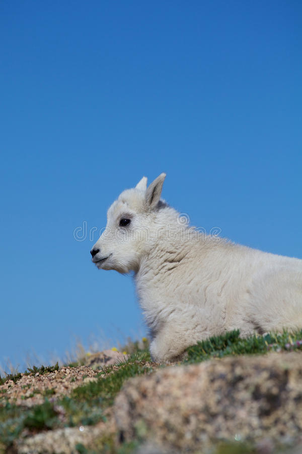 Download Baby Mountain Goat Close Up Stock Image - Image: 32070635