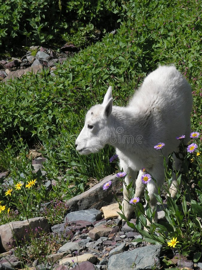 Download Baby Mountain Goat In Flowers Stock Image - Image: 1110077