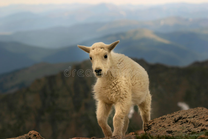 Baby mountain goat Mt. Evans stock images