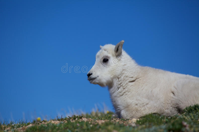 Download Baby Mountain Goat Portrait Stock Image - Image: 32070679