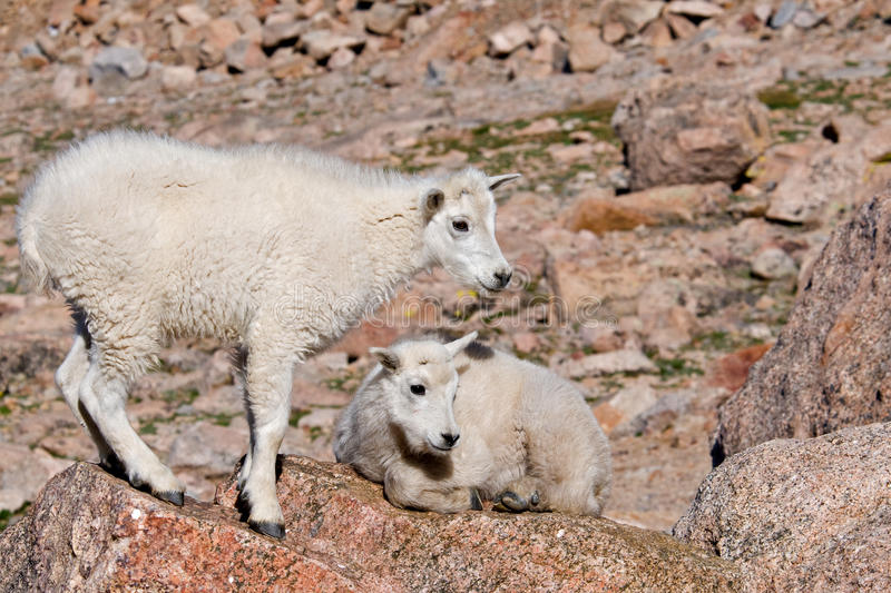 Baby Mountain Goats 2 stock photography
