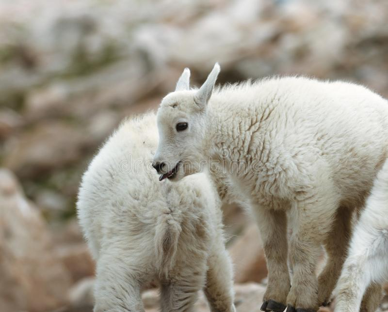 Baby Mountain Goats on Mount Evans royalty free stock photography