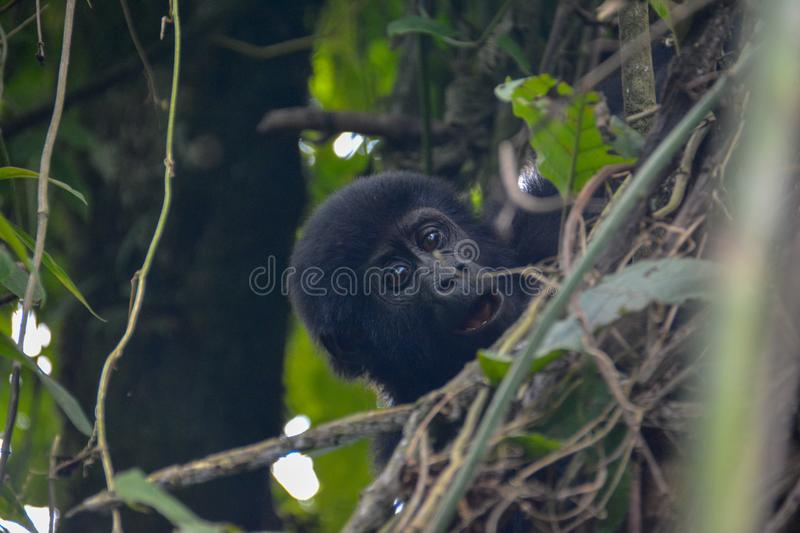Baby mountain gorilla cute expression in the trees. Young mountain gorilla providing a surprised expression while climbing branches in Bwindi Impenetrable royalty free stock photos