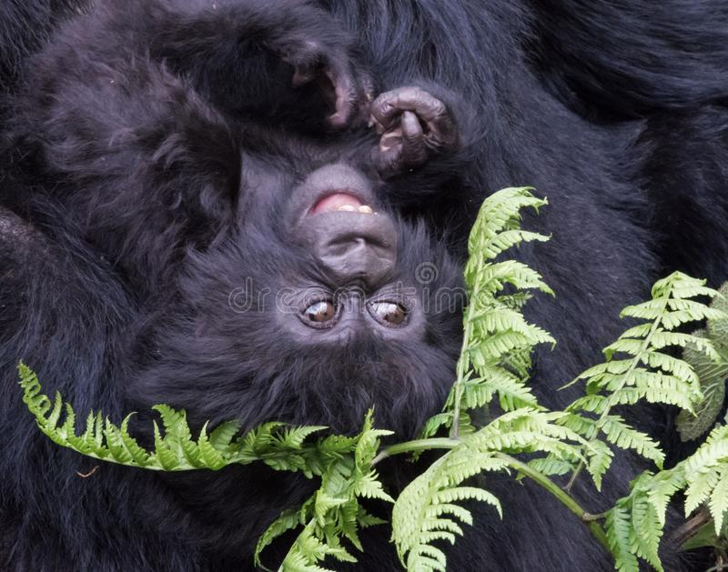 Baby Mountain Gorilla hanging upside down in forest Rwanda stock photo