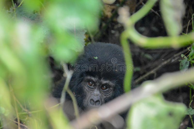 Baby mountain gorilla peaking through the jungle foliage. Very young mountain gorilla hiding in the dense foliage of Bwindi Impenetrable National Park Uganda stock photos