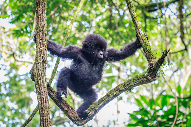 Baby Mountain gorilla playing in a tree. stock images