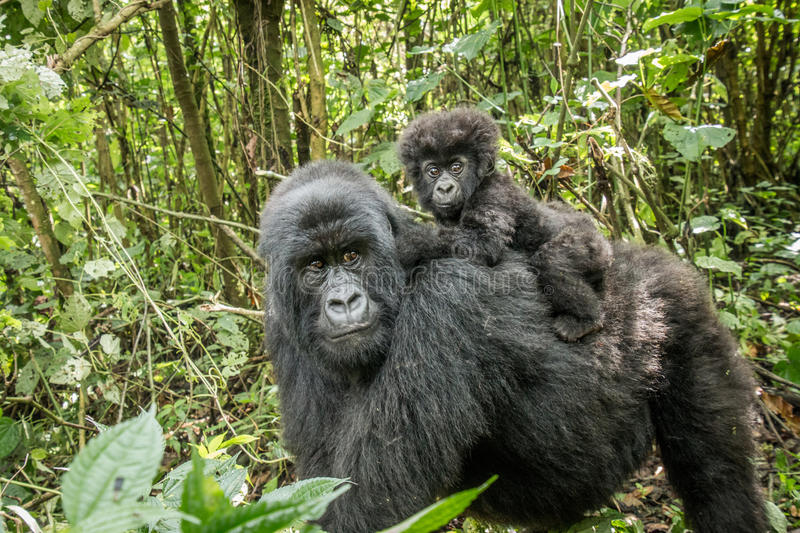 Baby Mountain gorilla sitting on his mother. stock image