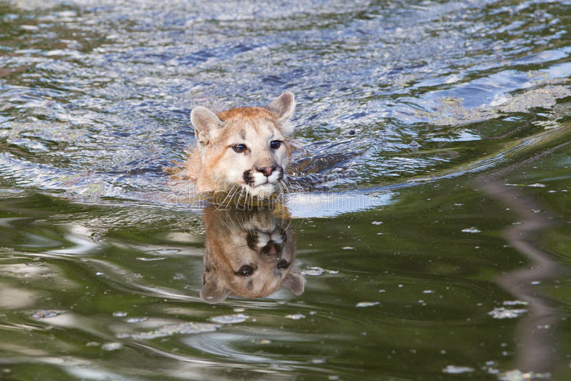 Baby Mountain Lion Swimming Stock Photo - Image of tree ...