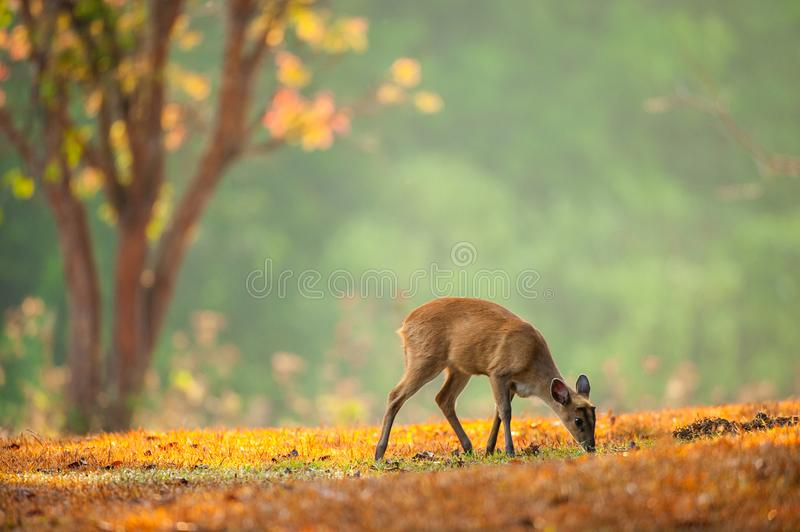 Baby Muntjac on the golden grassland in spring season. royalty free stock photography