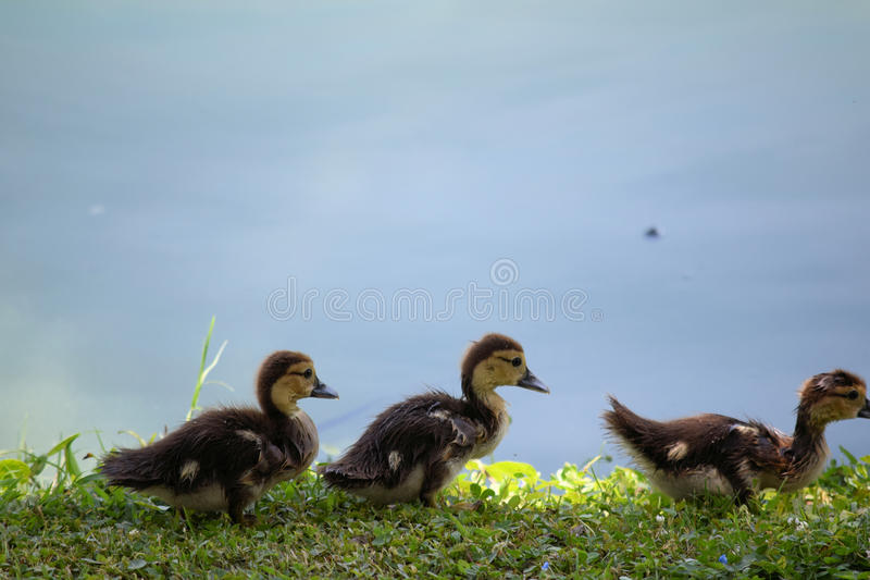 Muscovy Duck babies | Stock Images Page | Everypixel