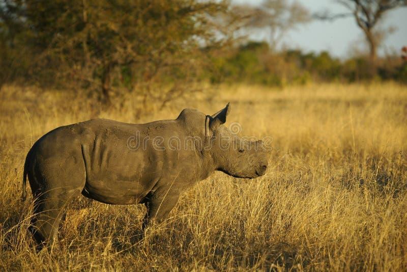 Baby-Nashorn-Kalb in Afrika lizenzfreie stockfotos