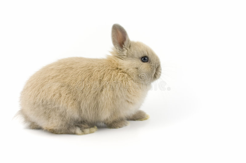 Download Baby Of Netherland Dwarf Rabbit Stock Image - Image: 4610209