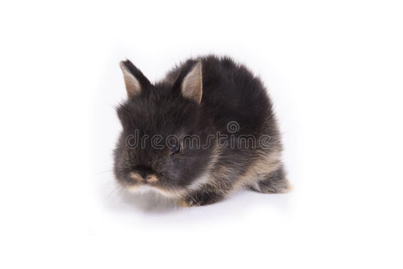 Baby netherland dwarf rabbit on white background stock image