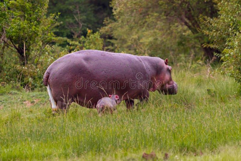 Baby-Nilpferd gerade getragen lizenzfreies stockbild