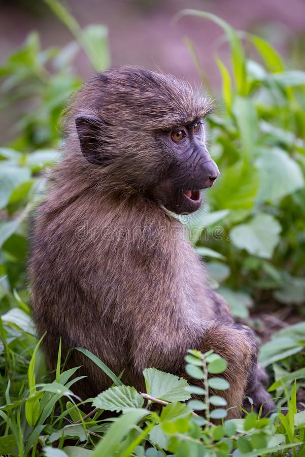 Baby olive baboon staring with open mouth stock photography