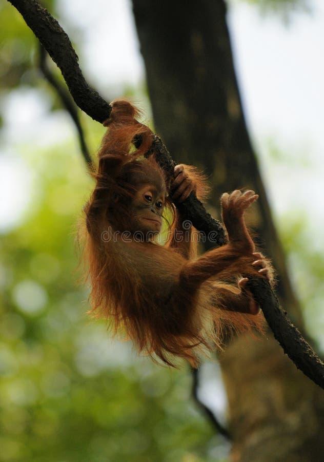 Free Baby Orangutan Stock Photo - 13612930
