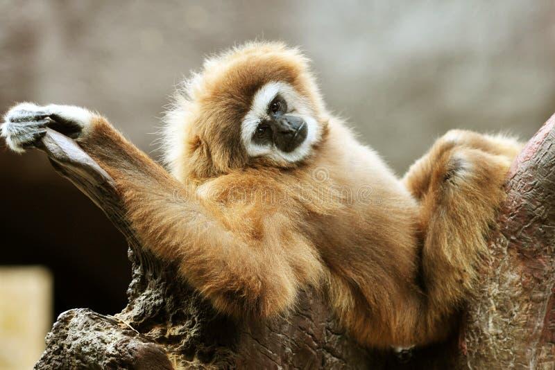 Baby orangutan royalty free stock images