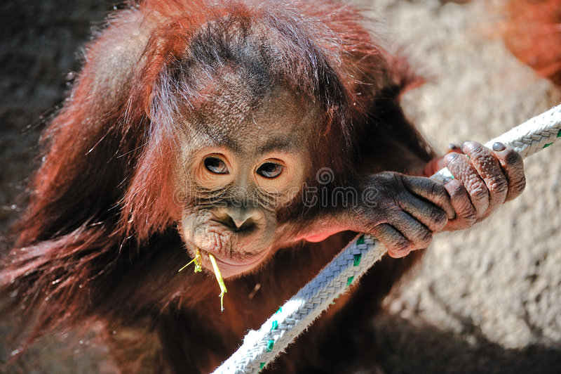 Baby Orangutan royalty free stock photography