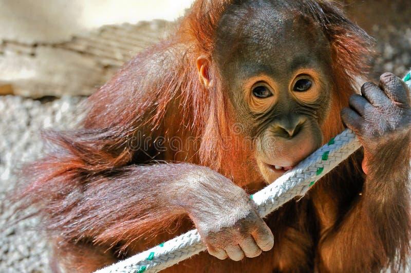 Baby orangutan in captivity stock photo
