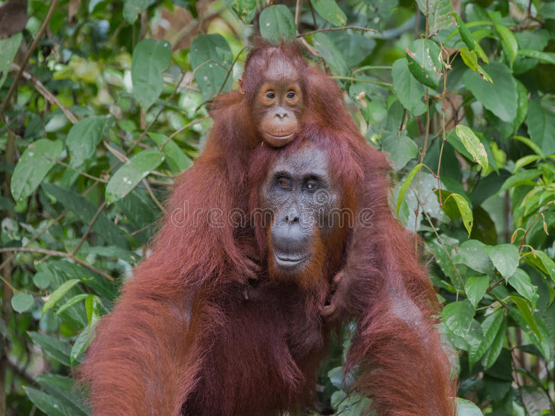 Baby orangutan hugging his mother, sitting on her back (Indonesia, Borneo / Kalimantan) royalty free stock photo