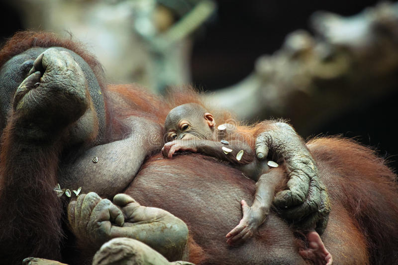Baby Orangutan. A baby orangutan with its mum royalty free stock photo