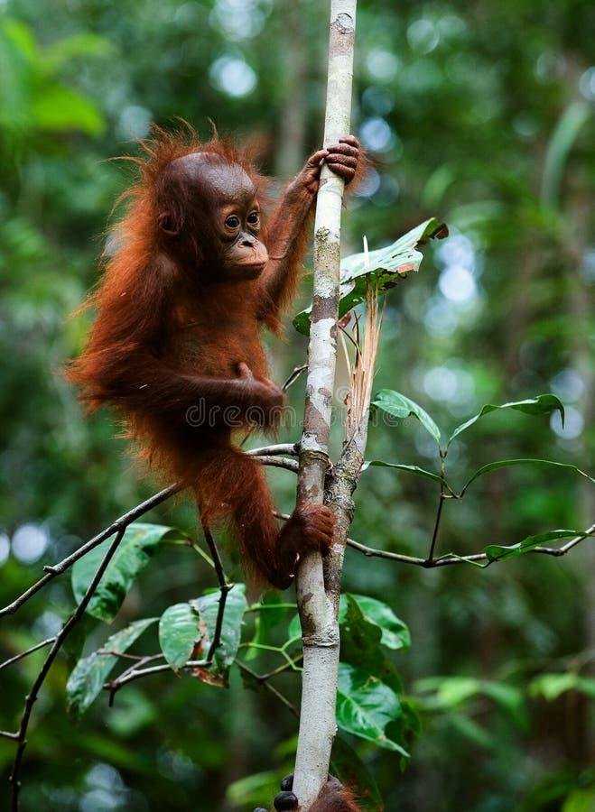 Baby orangutan (Pongo pygmaeus). royalty free stock photo