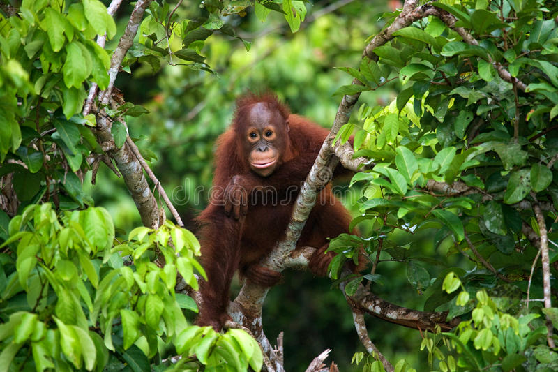 A baby orangutan in the wild. Indonesia. The island of Kalimantan (Borneo). An excellent illustration royalty free stock photo