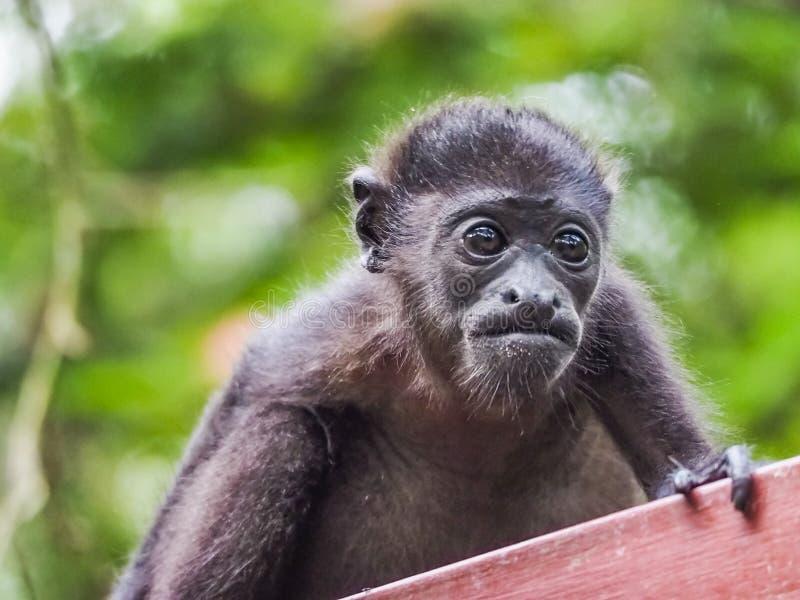 Baby orphan monkeys Views around Costa Rica stock photo