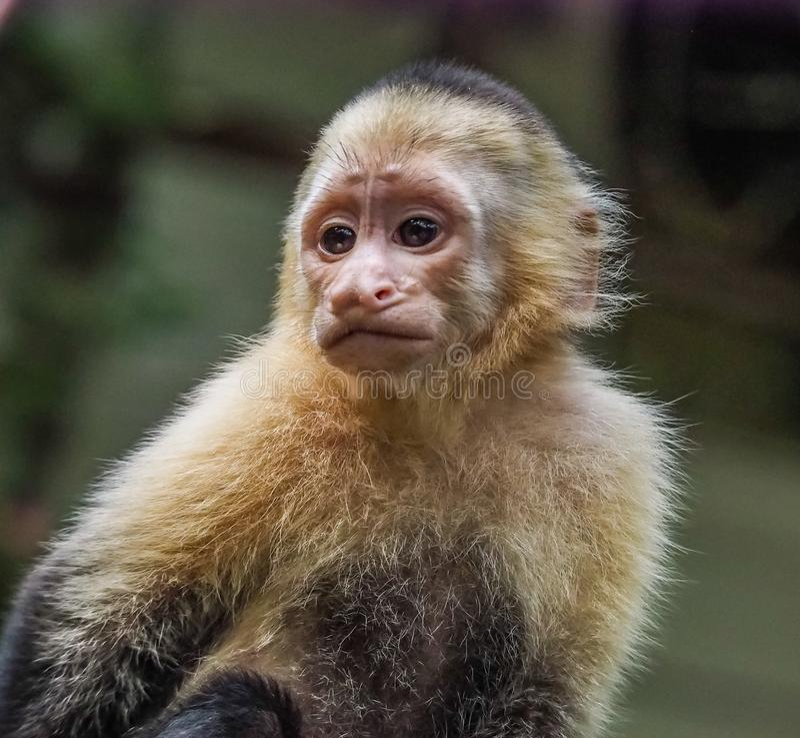 Baby orphan monkeys Views around Costa Rica royalty free stock photography