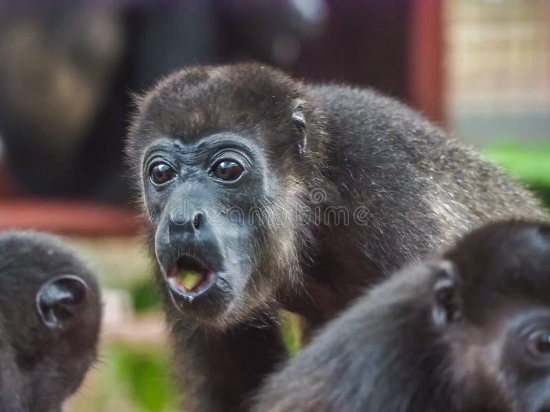 Baby orphan monkeys Views around Costa Rica stock photos