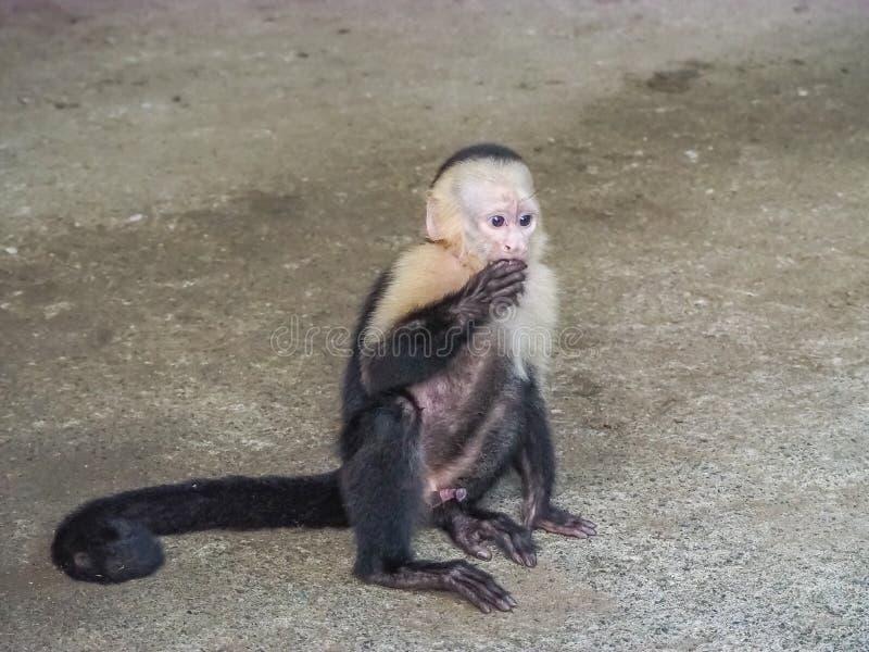 Baby orphan monkeys Views around Costa Rica stock photography