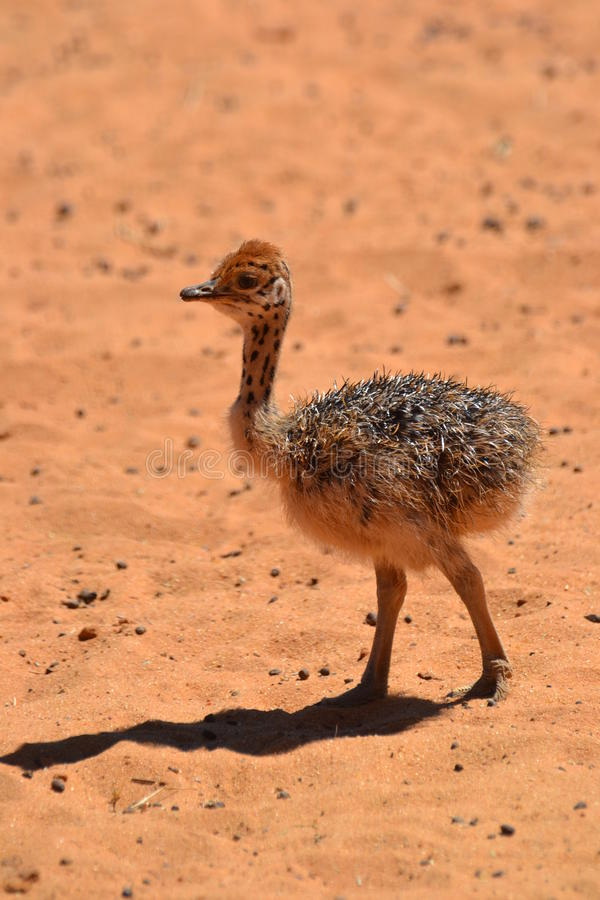 Baby Ostrich. Walking alone in the sun on dunes in the Kalahari Desert on a farm royalty free stock photo
