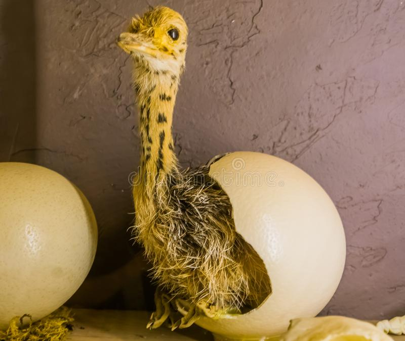 Baby ostrich coming out of a hatched egg, birth process of a flightless bird, stuffed animals and decorations royalty free stock images