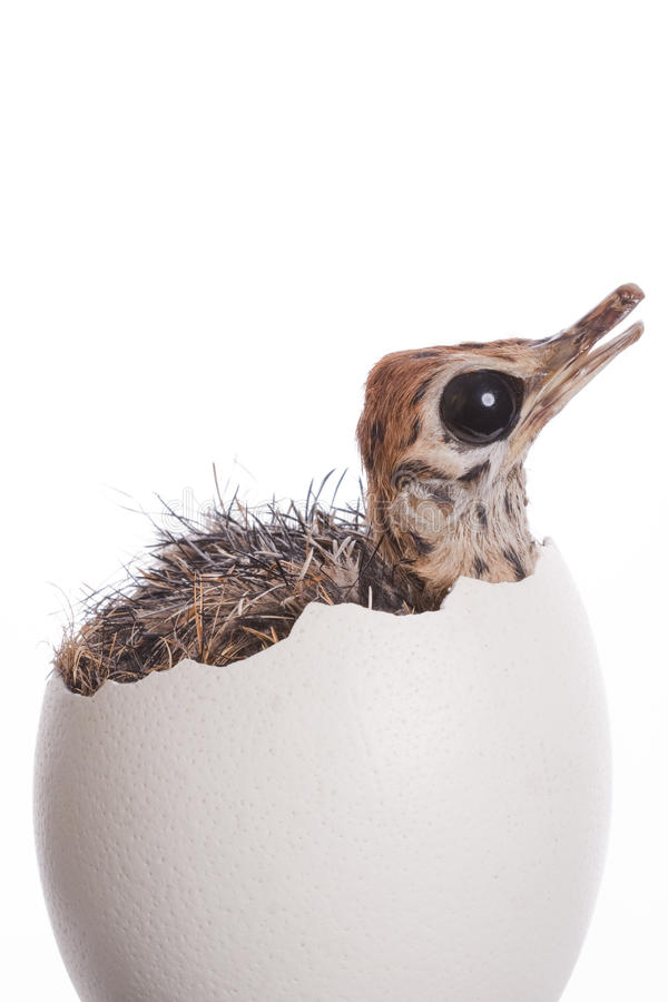 Baby Ostrich in Egg stock photos