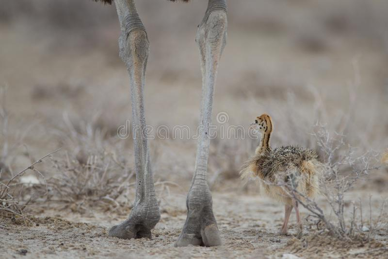Baby ostrich walking near its mother near dried out plants. A baby ostrich walking near its mother near dried out plants stock photo