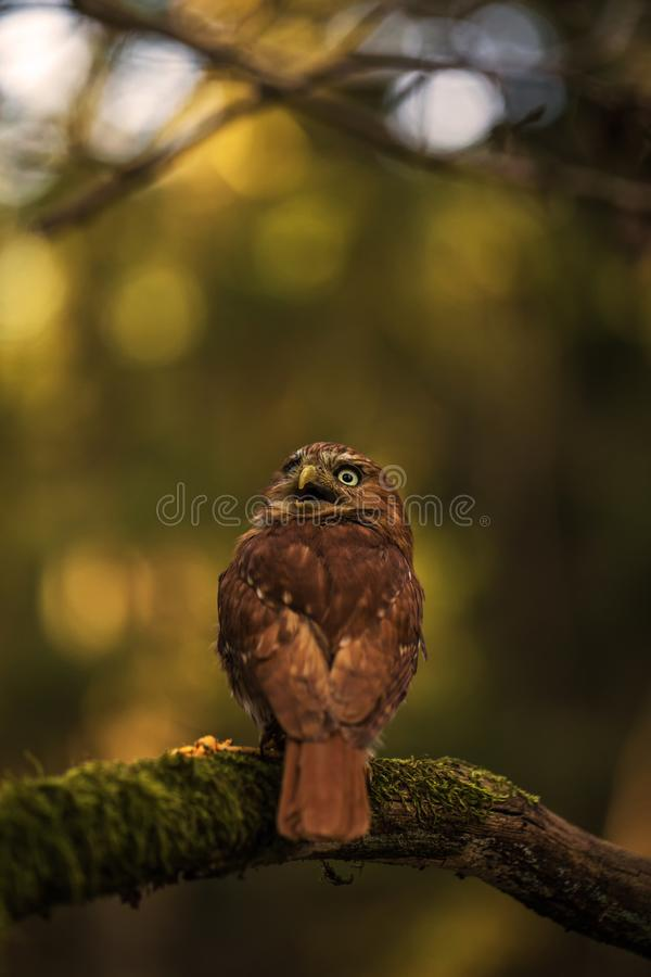 Baby owl in czech nature royalty free stock images