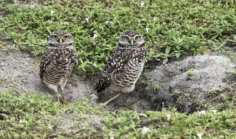 Baby Owls royalty free stock photo