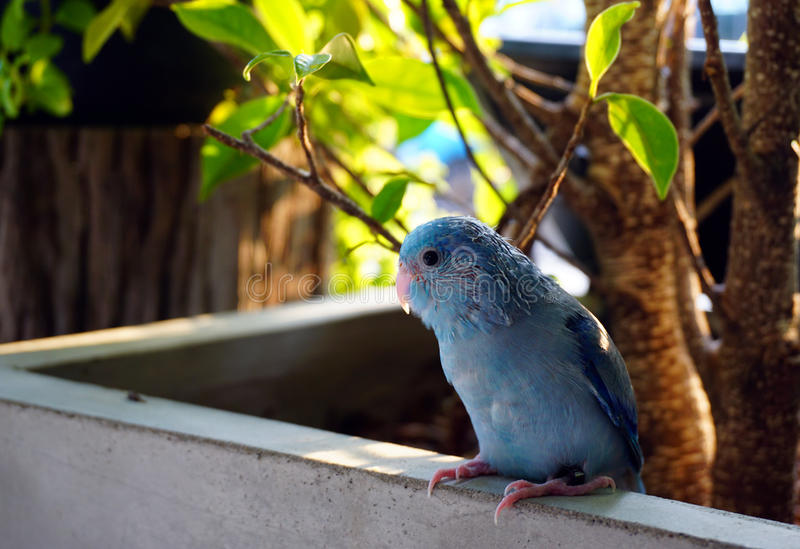 The baby Pacific Parrotlet, Forpus coelestis chill. In the garden stock photo