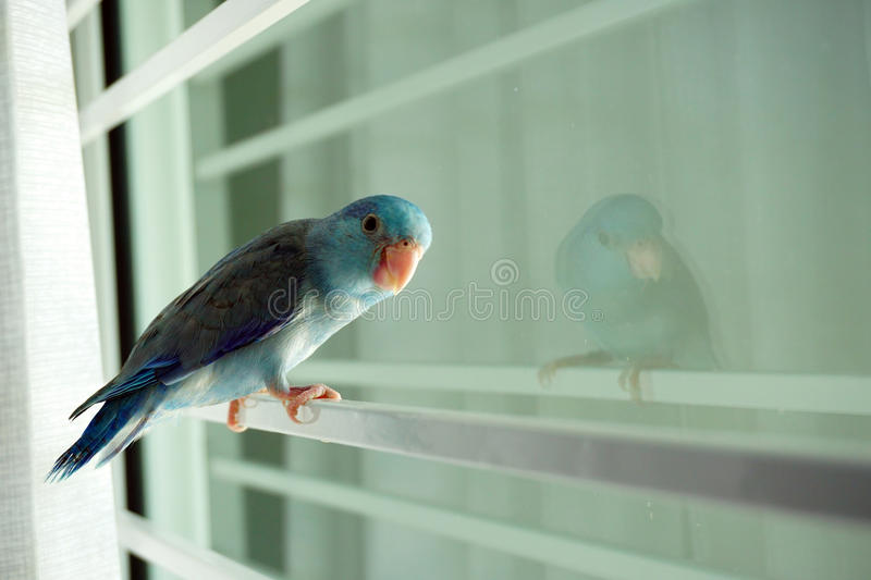 Baby Pacific Parrotlet, Forpus coelestis. Stand beside the window royalty free stock photo