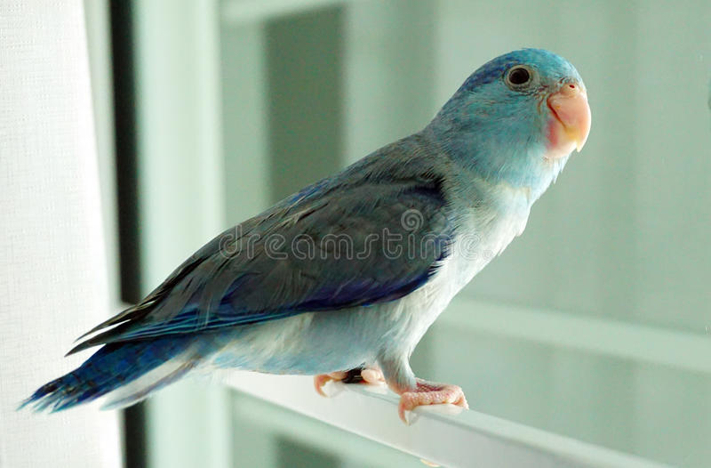 Baby Pacific Parrotlet, Forpus coelestis. Stand beside the window stock photography