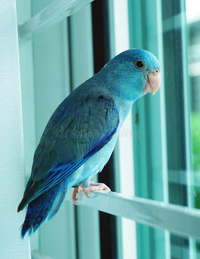 Baby Pacific Parrotlet, Forpus coelestis. Stand beside the window stock photo