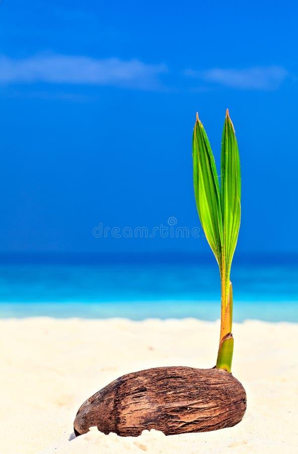 Baby palm tree royalty free stock photo