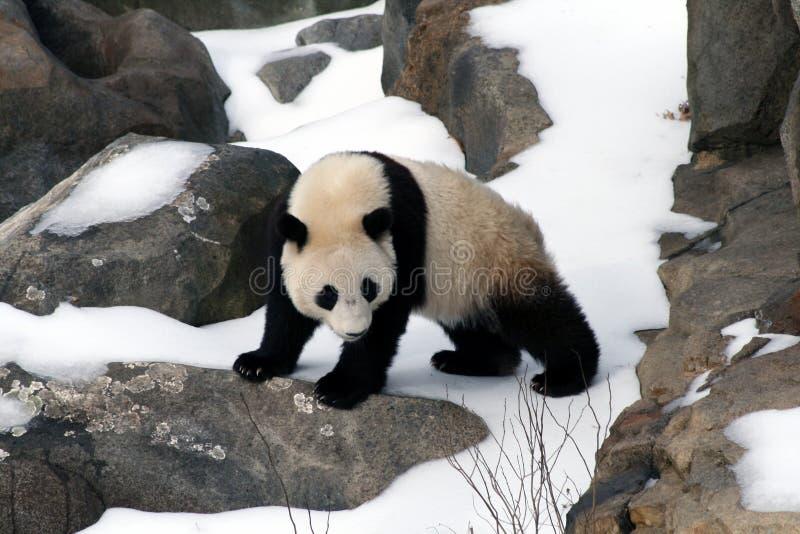 Baby Panda stock image