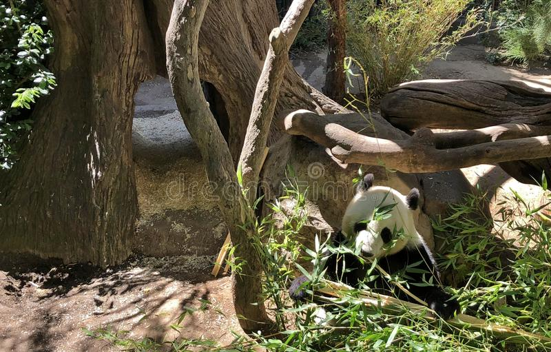 Baby Panda Eating Bamboo in Grass and Tree Habitat stock image