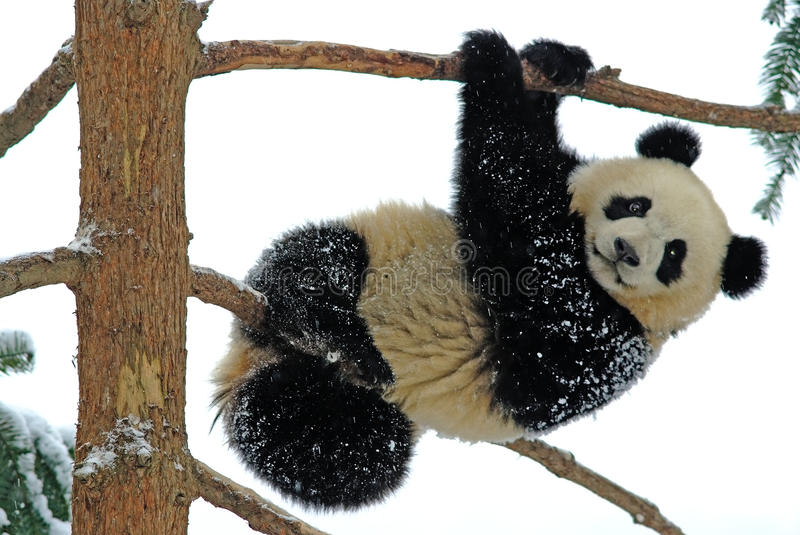 A baby panda is playing on the tree in bifengxia stock photos