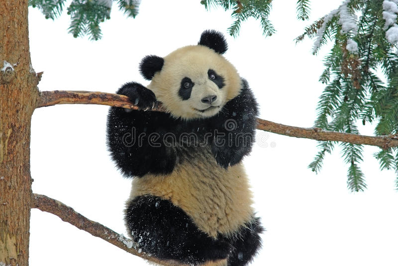 A baby panda is playing on the tree in bifengxia royalty free stock photo