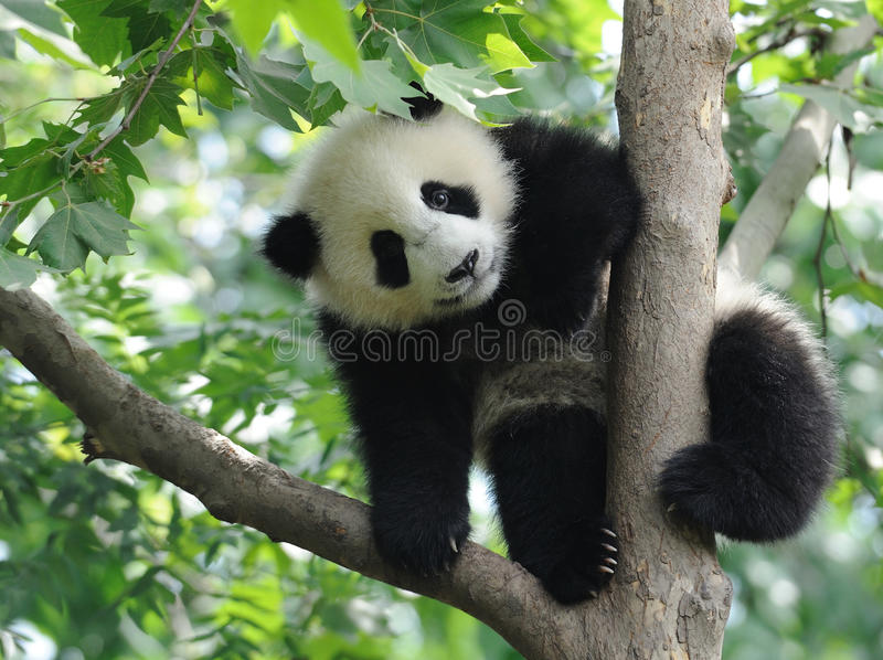Baby Panda on the tree. Lovely baby Panda on the tree